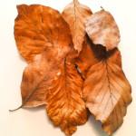 Bukové listí