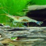 Caridina caerulea blue leg Poso