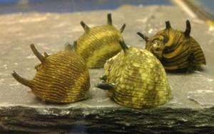 Clithon corona (snail sun)