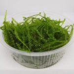 Erect moss (Vesicularia reticulata.)