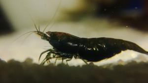 Neocaridina davidi (denticulata) black čoko