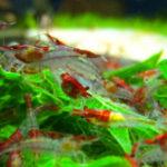 Neocaridina davidi (denticulata) rilli red