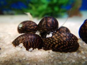 Neritina batik snail