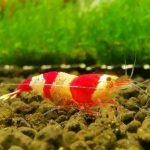 Caridina cantonensis crystal red