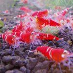 Caridina cantonensis super crystal red