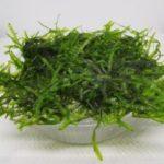Taiwan moss (Taxiphyllum alternans)