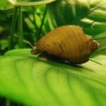 Thiara cancellata (hairly snail)