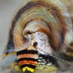Cerithidea balteata- King snail