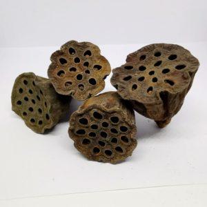 Lotus mini- Nelumbo nucifera